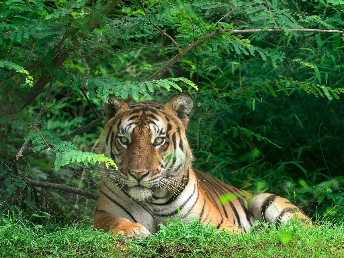 Tiger Photography With Sony SEL100400GM Lens