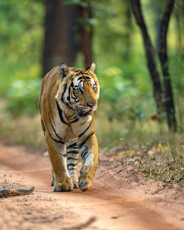 Image of Tiger, Wildlife, Vertebrate, Bengal tiger, Terrestrial animal, Mammal etc.