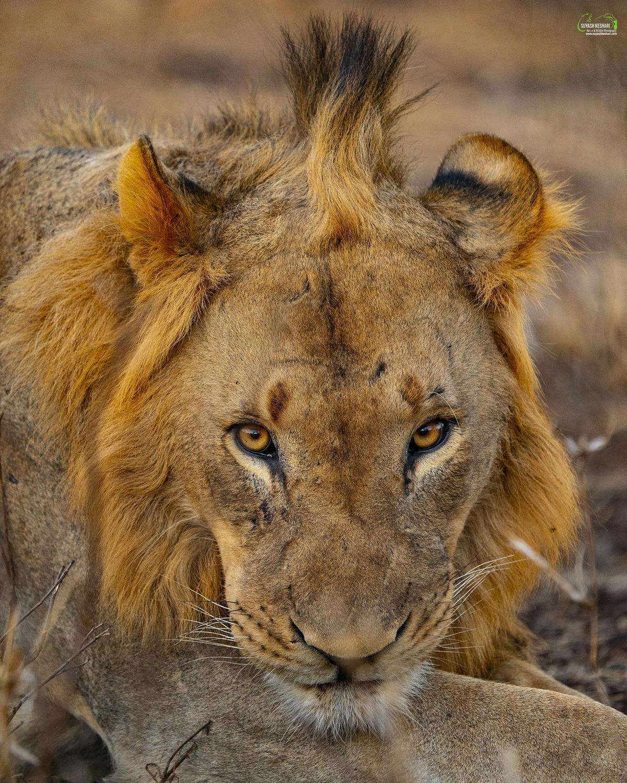 Image of Wildlife, Mammal, Lion, Vertebrate, Terrestrial animal, Hair etc.