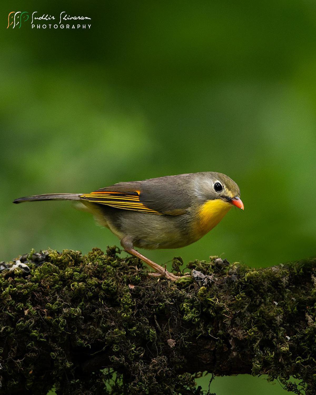 Image of Bird, Beak, European robin, Old World flycatcher, Songbird, Finch etc.