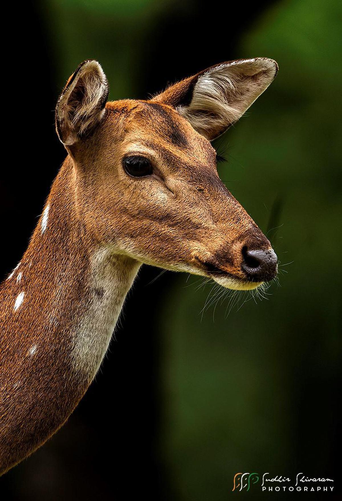 Image of Vertebrate, Wildlife, Mammal, Deer, Terrestrial animal, White-tailed deer etc.