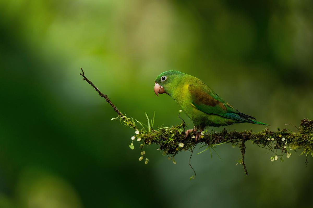 Image of Wildlife, Wing, Green, Parrot, Budgie, Nature etc.