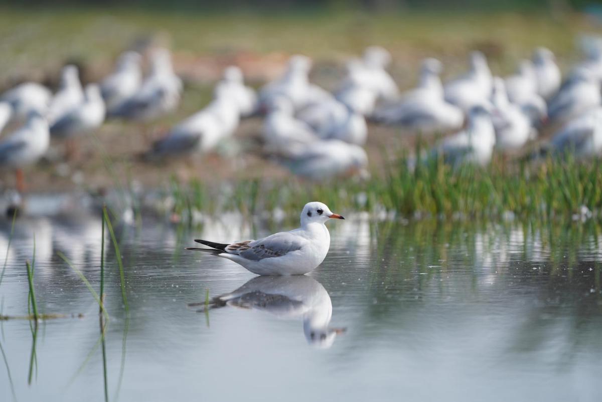 Image of Bird, Common tern, Beak, Laughing Gull, Seabird, Wildlife etc.