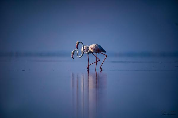 Image of Greater flamingo, Water, Flamingo, Sky, Blue, Bird etc.