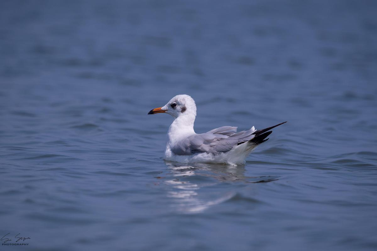 Image of Bird, Vertebrate, Beak, Seabird, Gull, Water bird etc.