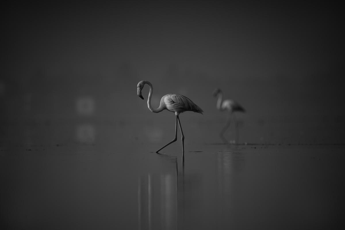 Image of Greater flamingo, Black, Bird, Flamingo, Water bird, Water etc.