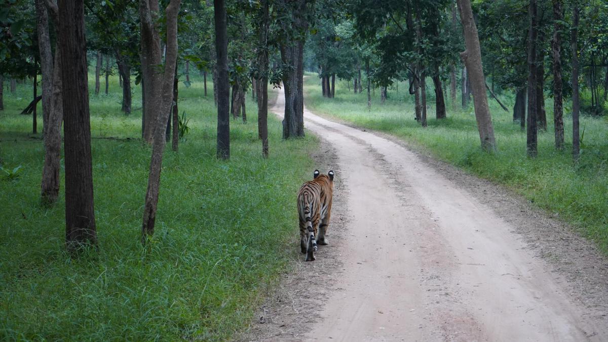 Image of Bengal tiger, Wildlife, Tiger, Felidae, Nature reserve, Siberian tiger etc.