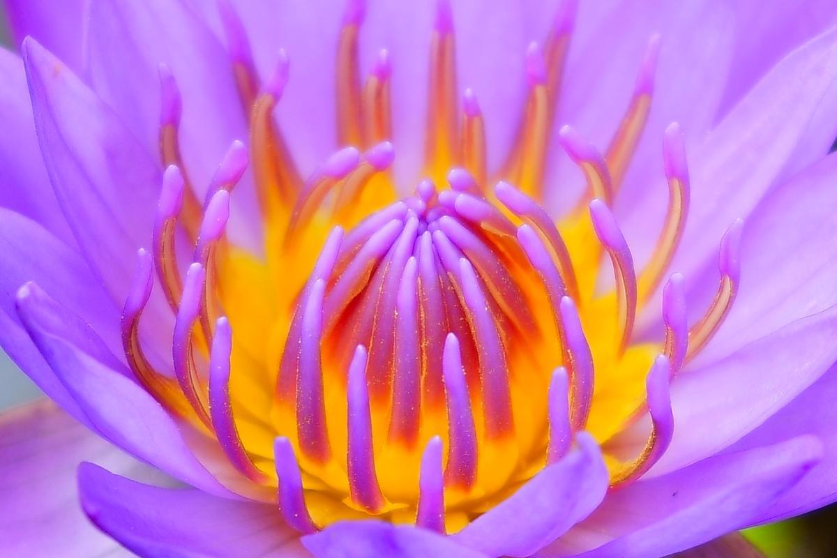 Image of Flower, Petal, Flowering plant, Violet, Purple, Close-up etc.