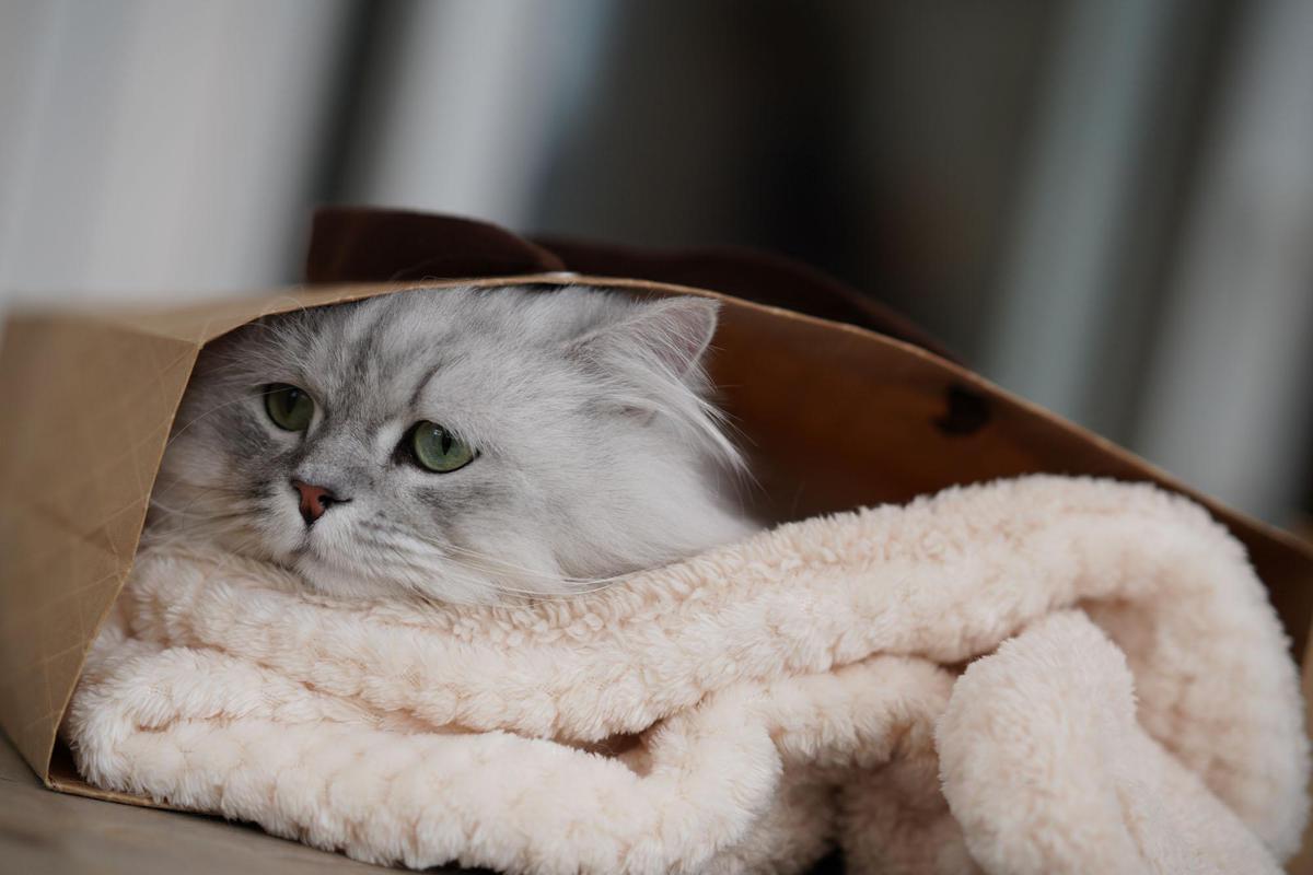 Image of Cat, Small to medium-sized cats, Mammal, Felidae, Whiskers, British semi-longhair etc.