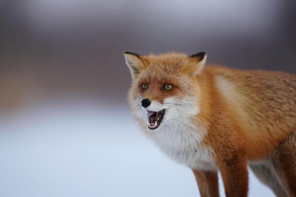 Image of Mammal, Red fox, Vertebrate, Fox, Canidae, Wildlife etc.