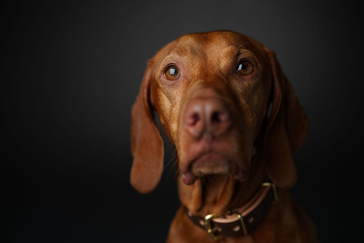 Image of Dog, Mammal, Vertebrate, Vizsla, Canidae, Dog breed etc.