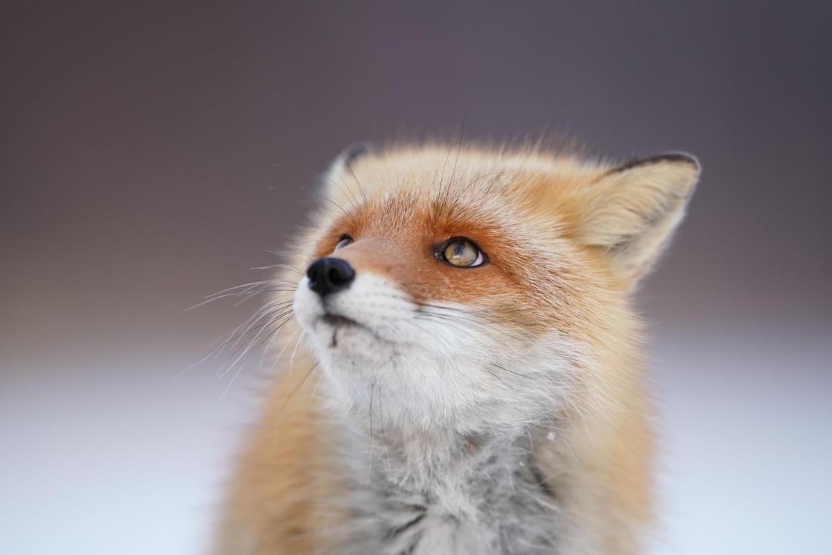 Image of Mammal, Vertebrate, Red fox, Canidae, Fox, Whiskers etc.