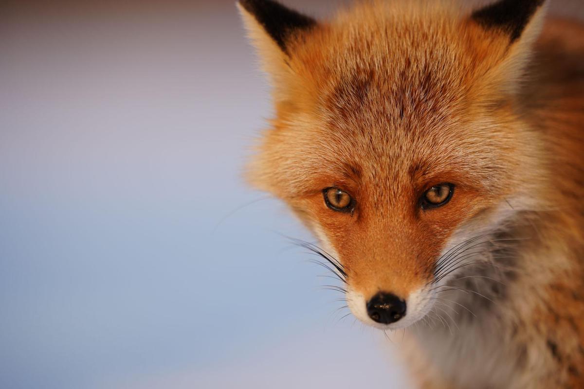 Image of Red fox, Mammal, Vertebrate, Fox, Canidae, Wildlife etc.