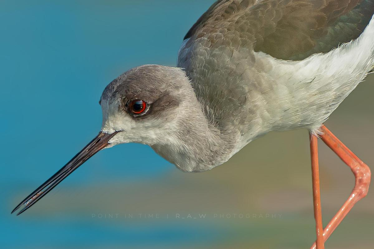 Image of Bird, Vertebrate, Beak, Shorebird, redshank, Charadriiformes etc.