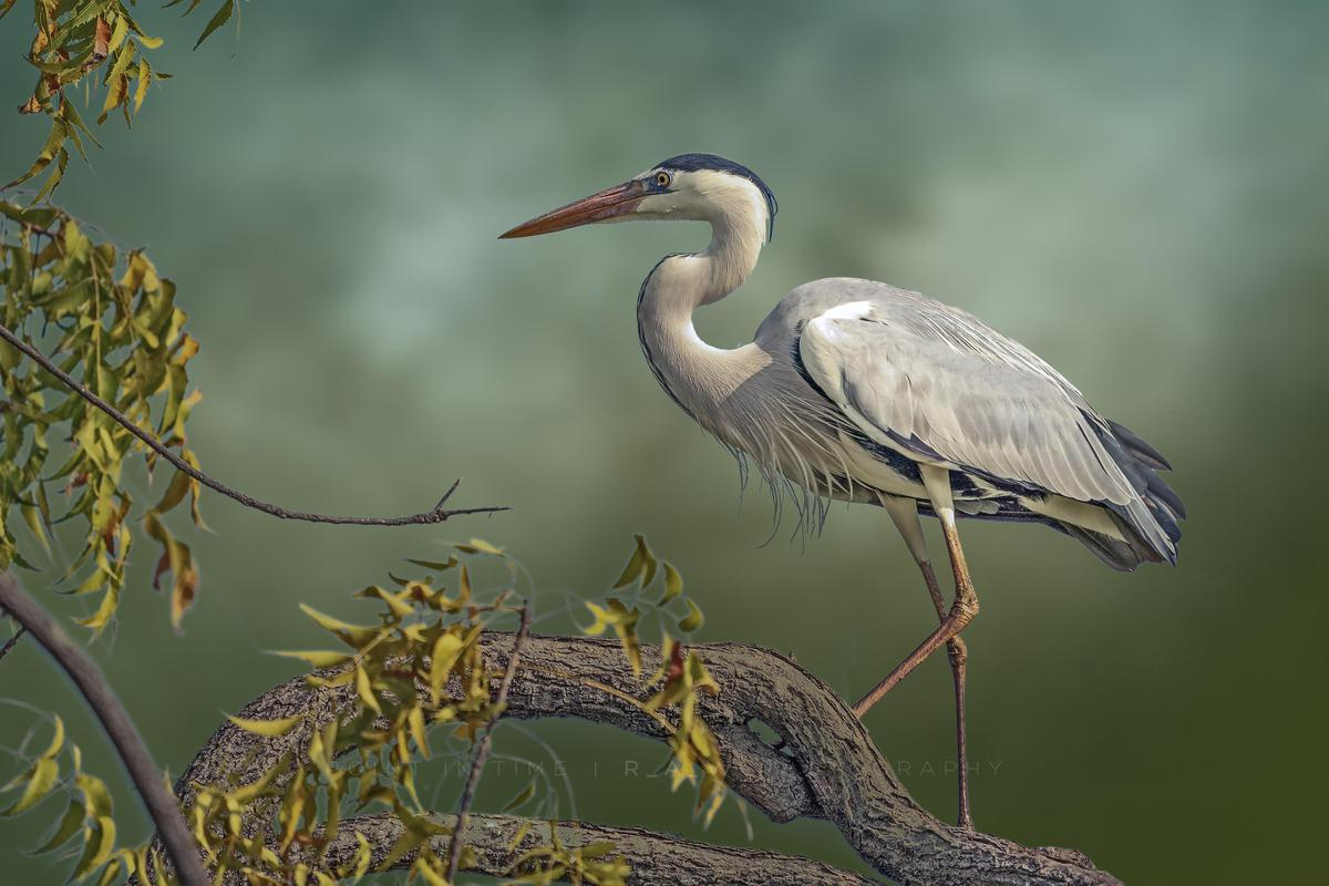 Image of Bird, Vertebrate, Beak, Heron etc.