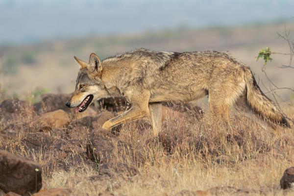 Image of Vertebrate, Mammal, Wildlife, Jackal, Coyote, Canidae etc.
