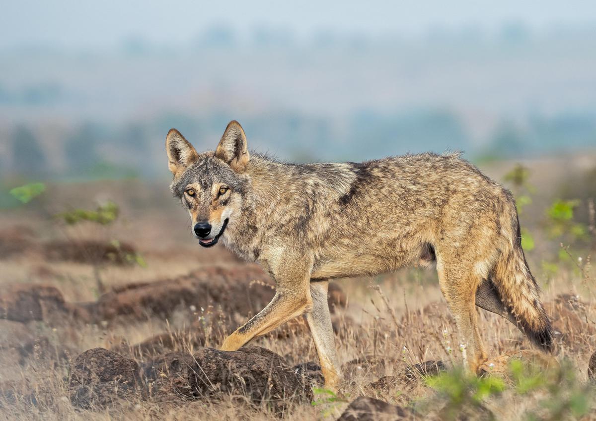 Image of Mammal, Vertebrate, Jackal, Wildlife, Canidae, Coyote etc.