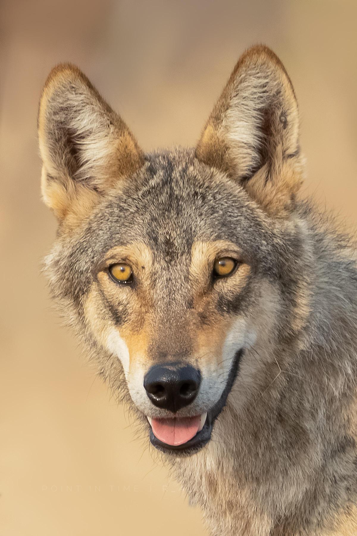 Image of Mammal, Vertebrate, Canidae, Czechoslovakian wolfdog, Canis, Wolf etc.