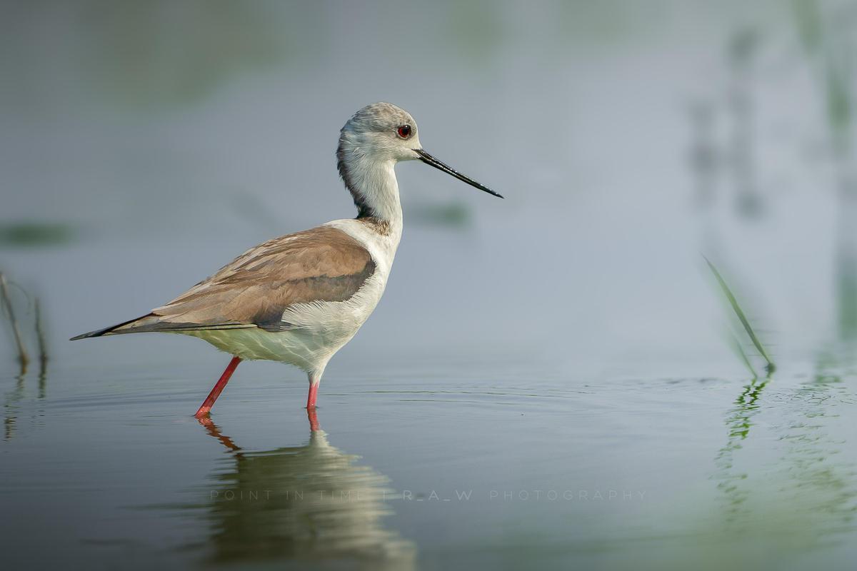 Image of Bird, Vertebrate, Beak, Shorebird, redshank, Sandpiper etc.