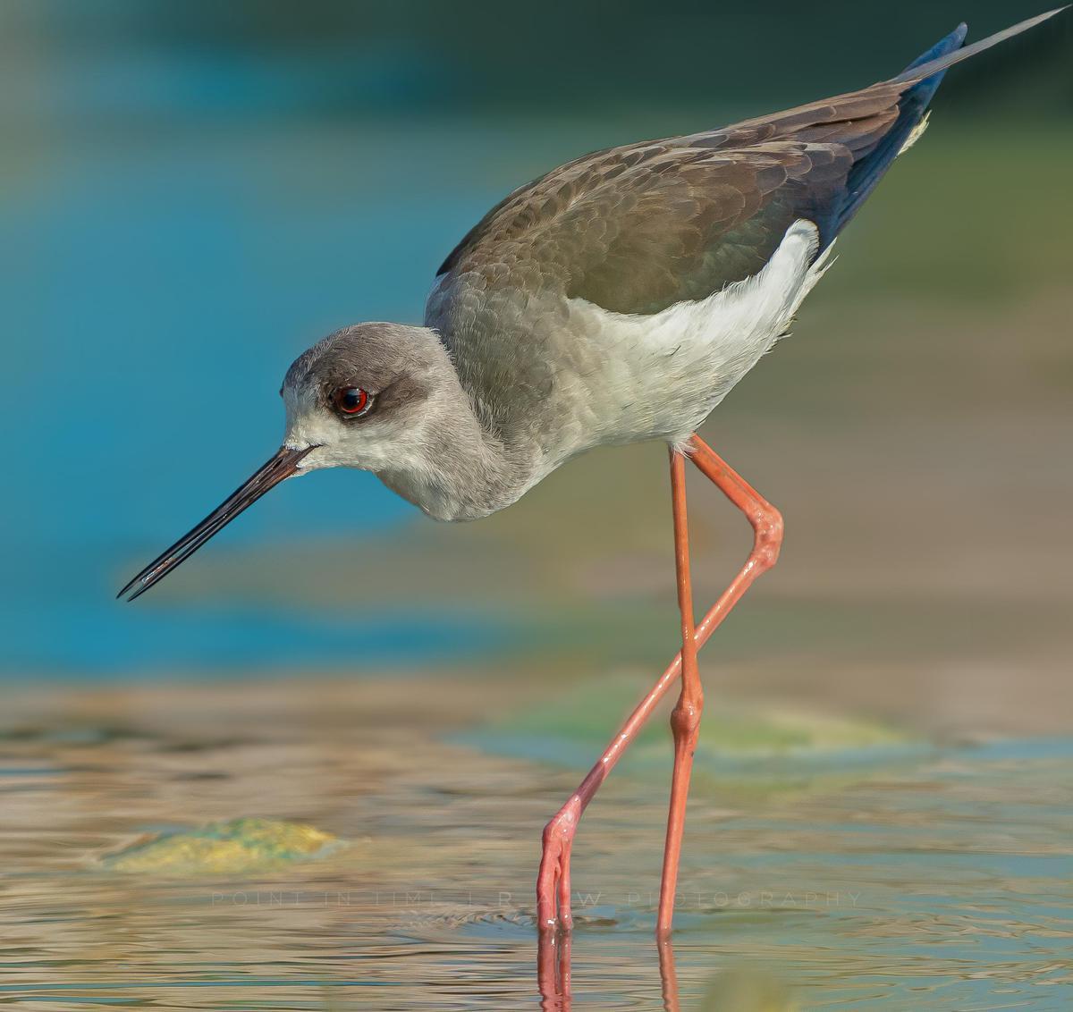 Image of Bird, Vertebrate, Beak, Shorebird, redshank, Wildlife etc.