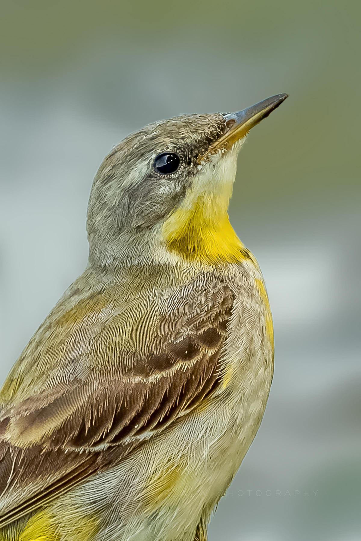 Image of Bird, Vertebrate, Beak, Western Kingbird etc.