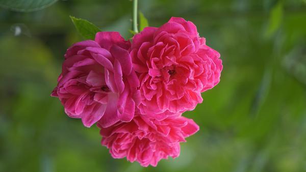 Image of Botany, Peony, Plant, Pink, Petal, Flowering plant etc.