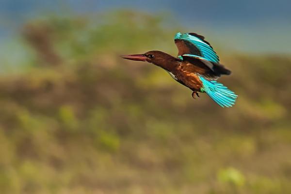 Image of Bird, Beak, Wildlife, Roller, Coraciiformes etc.