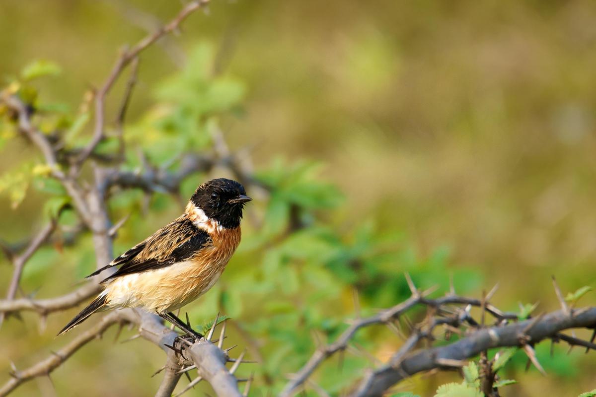 Image of Bird, Vertebrate, Beak, Emberizidae, Wildlife, Brambling etc.