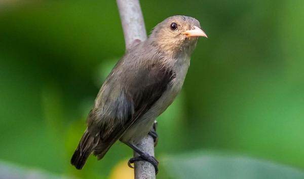 Image of Bird, Vertebrate, Beak, Finch etc.