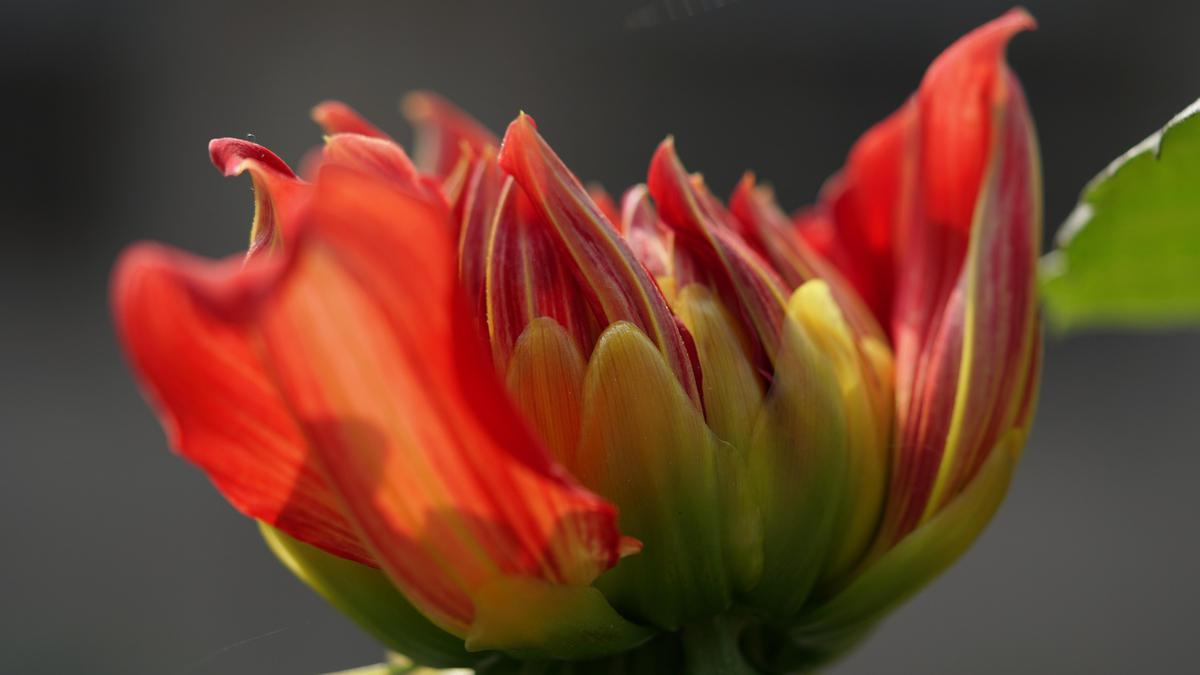 Image of Yellow, Botany, Tulip, Close-up, Plant, Red etc.