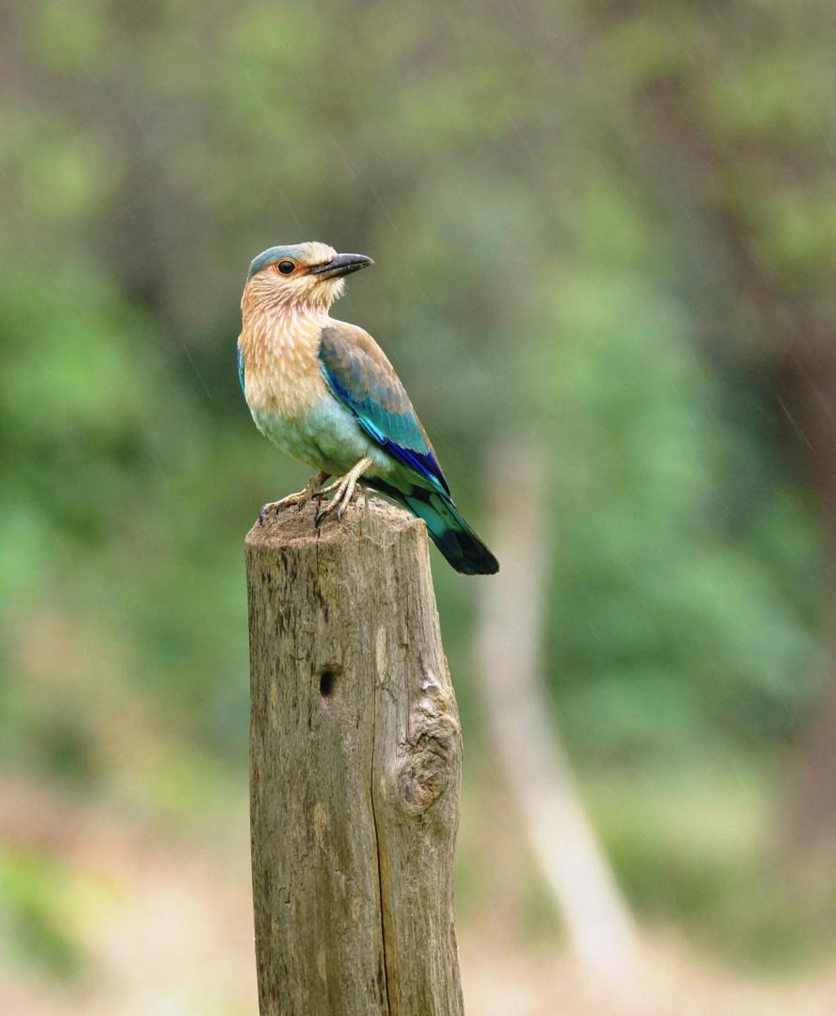 Image of Bird, Beak, Roller, Bluebird, Coraciiformes, Wildlife etc.