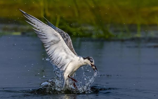 Image of Bird, Vertebrate, Beak, Wildlife, Water, Seabird etc.