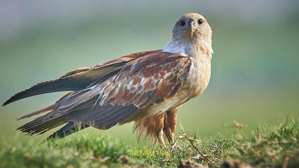 Image of Bird, Vertebrate, Hawk, Bird of prey, Accipitridae, Beak etc.