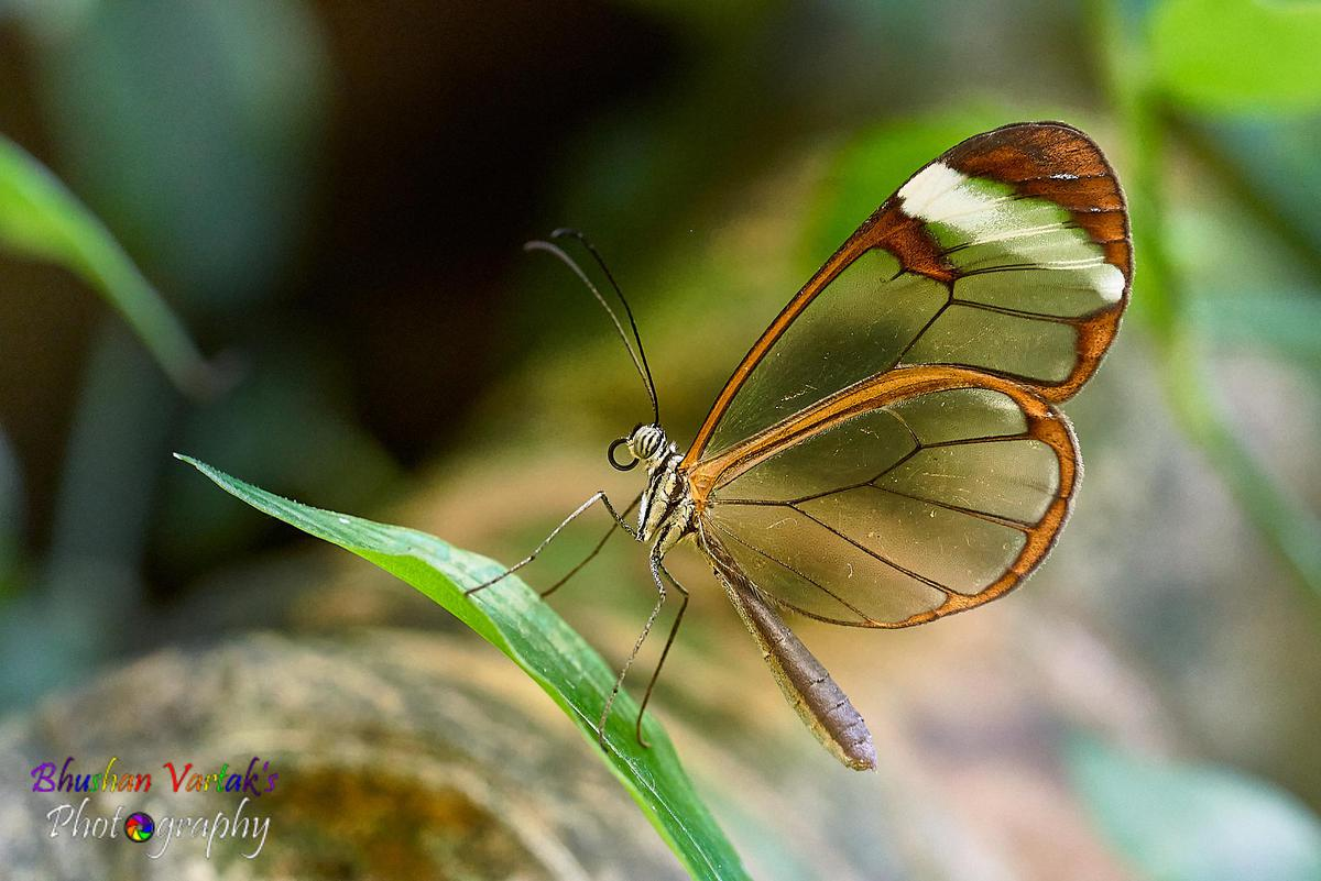 Image of Butterfly, Insect, Moths and butterflies, Invertebrate, Macro photography, Pollinator etc.