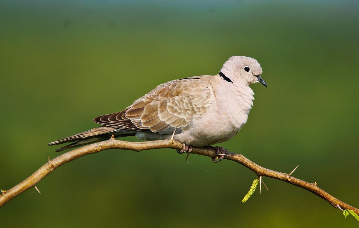 Image of Bird, Vertebrate, Beak, Wildlife, American Mourning Dove, Pigeons and doves etc.