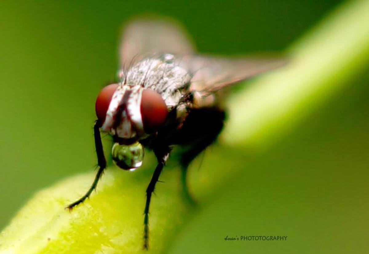 Image of Insect, house fly, Macro photography, Drosophila melanogaster, Tachinidae, Fly etc.