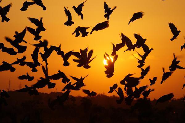 Image of Flock, Bird migration, Animal migration, Sky, Bird, Silhouette etc.