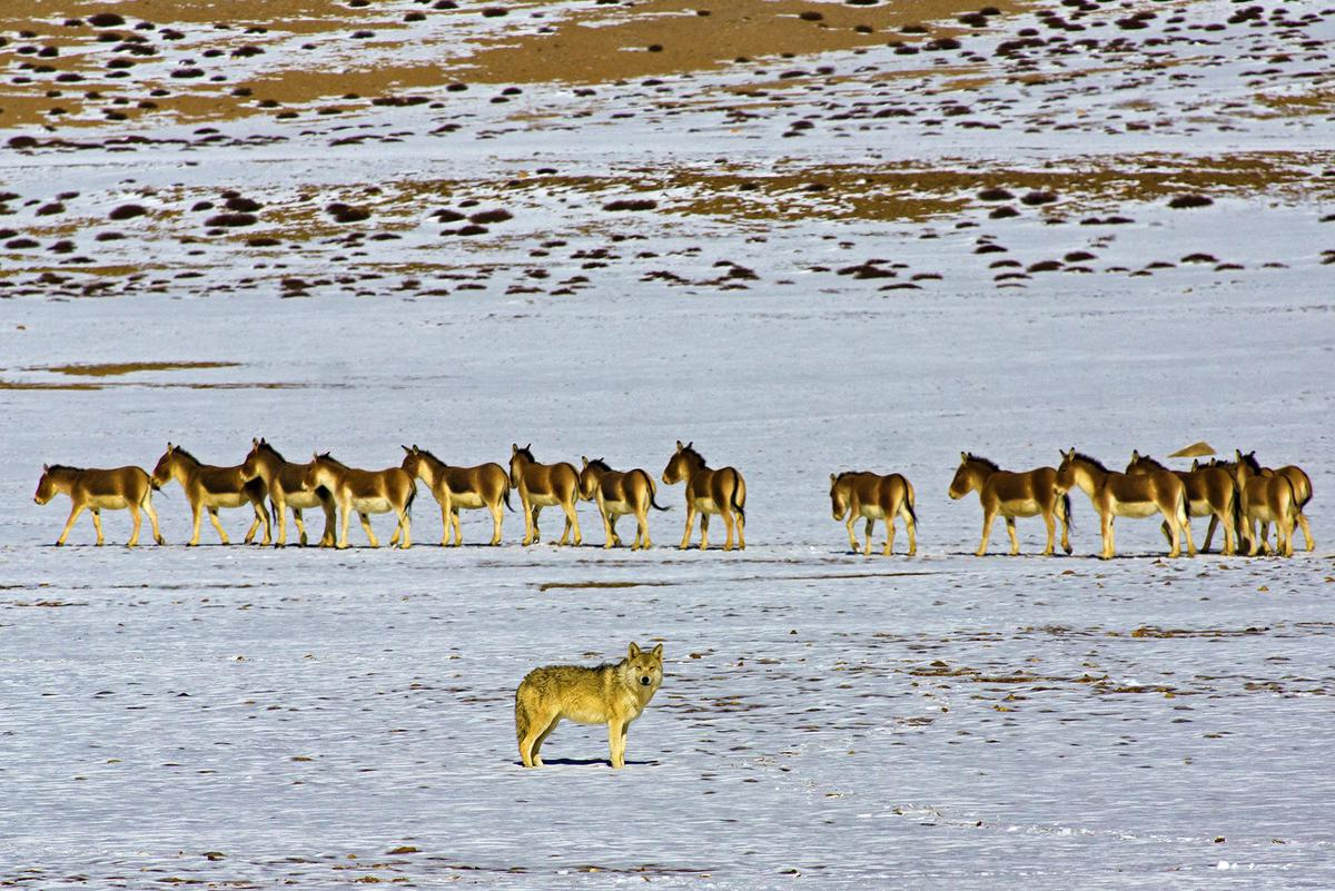 Image of Wildlife, Herd etc.