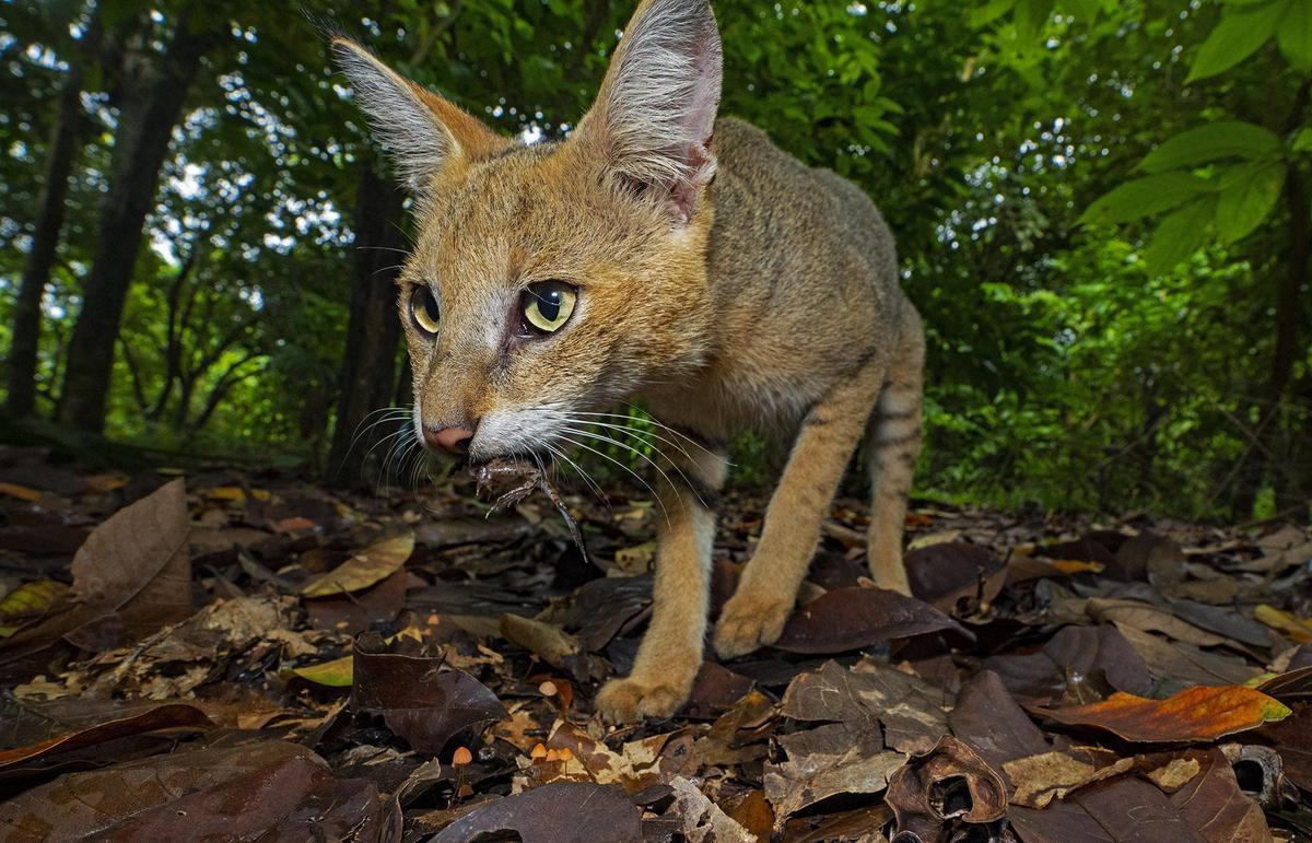 Image of Vertebrate, Mammal, Wildlife, Whiskers, Felidae, Cat etc.