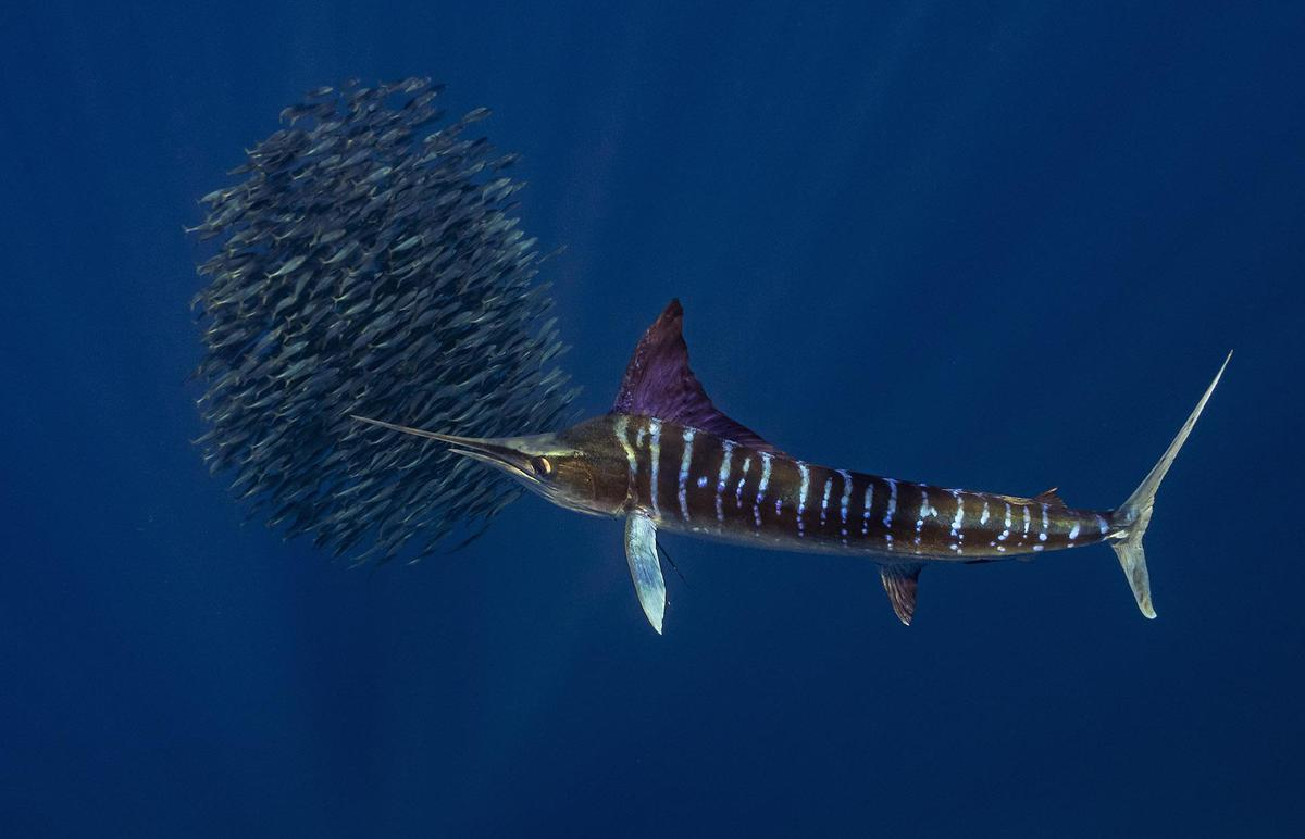 Image of Fish, Marlin etc.