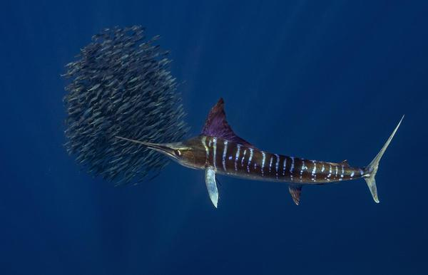 Image of Fish, Marlin etc.