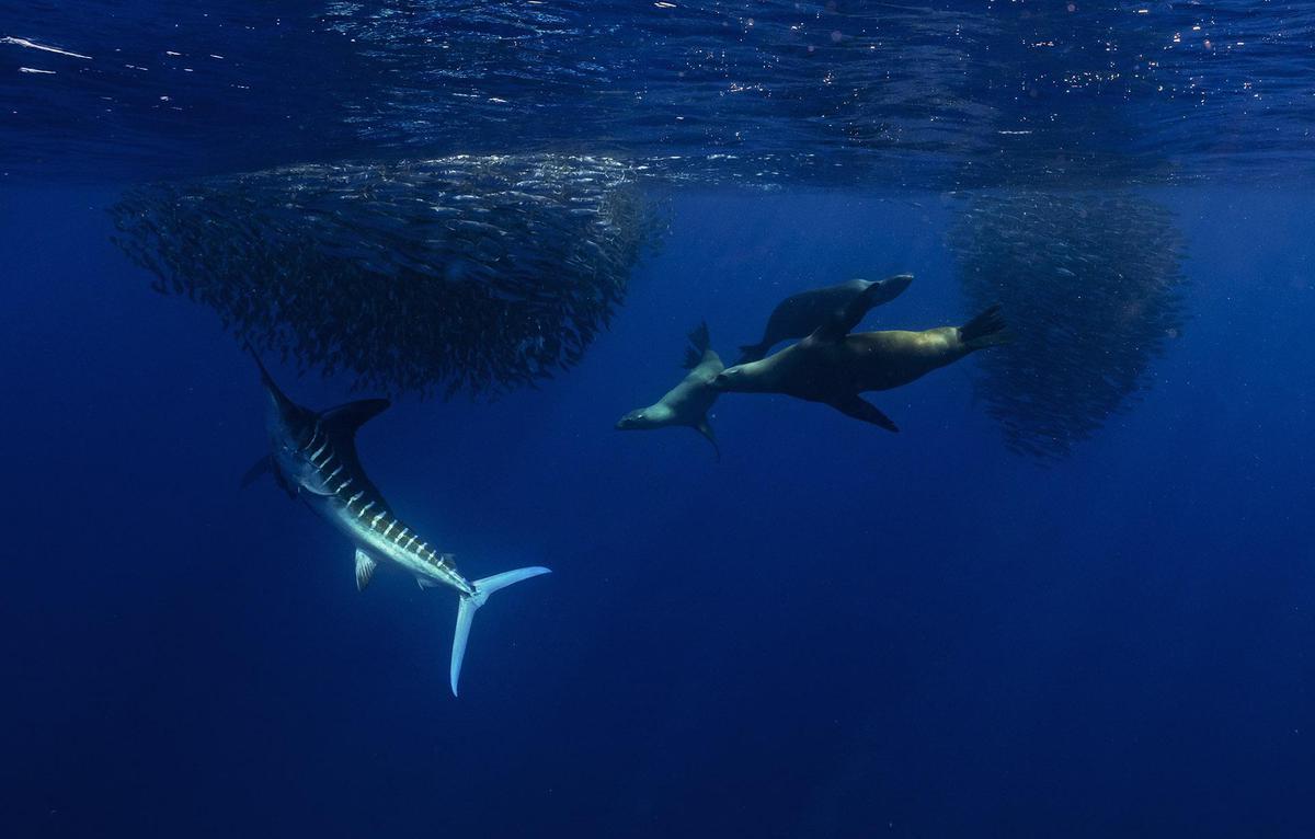 Image of Whale shark, Water, Marine biology, Underwater, Marine mammal, Cetacea etc.