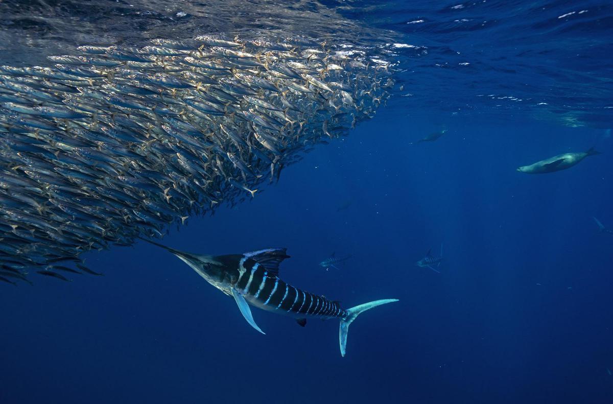 Image of Whale shark, Fish, Water, Shark, Underwater, Marine biology etc.
