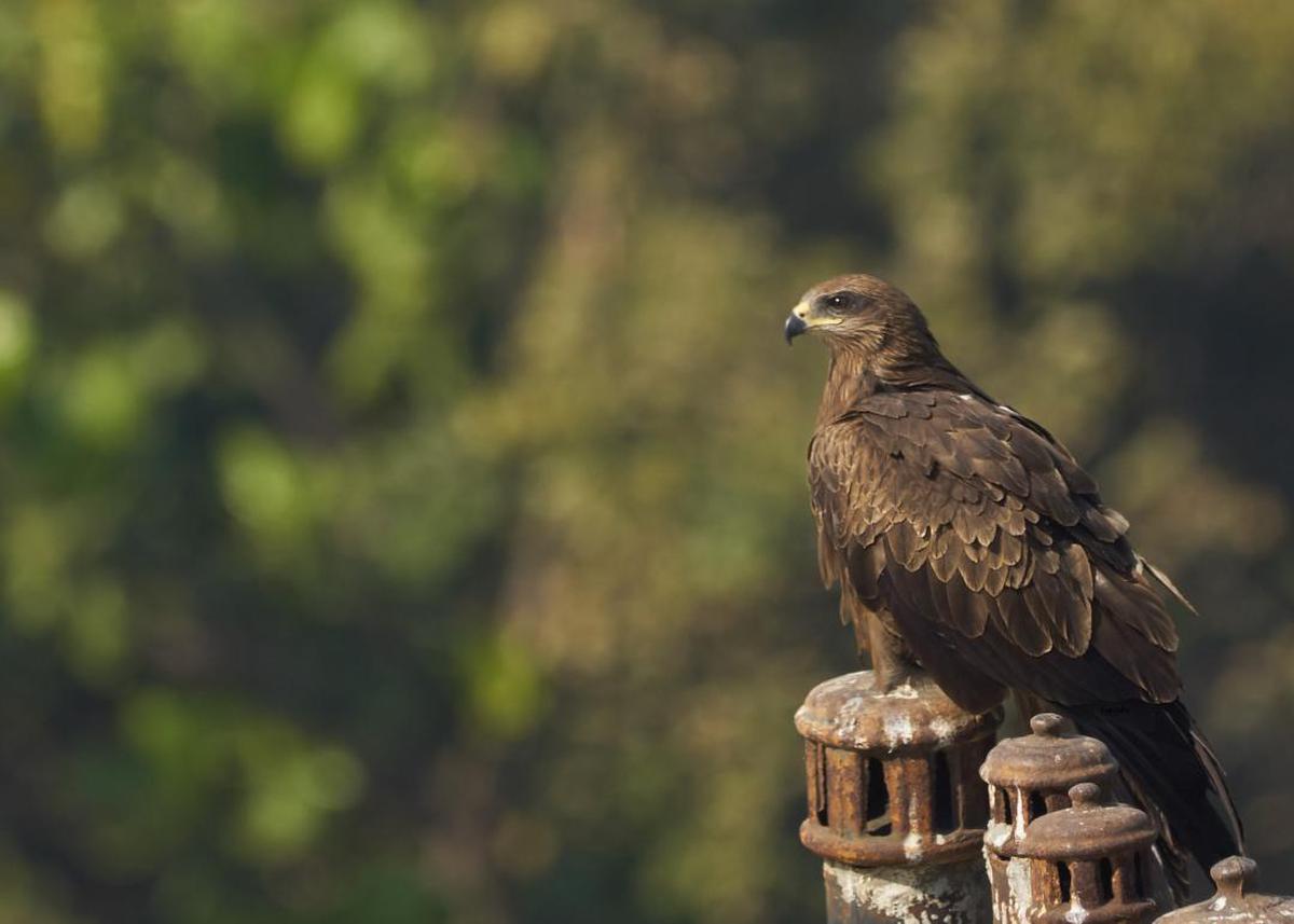 Image of Bird, Vertebrate, Bird of prey, Beak, Accipitriformes, Buzzard etc.