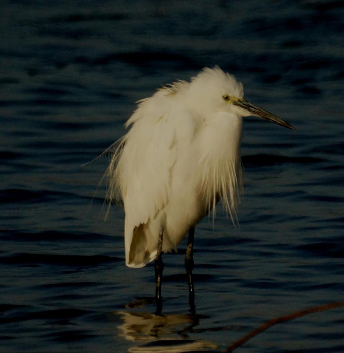 Image of Bird, Vertebrate, Beak, Snowy Egret, Egret, Feather etc.