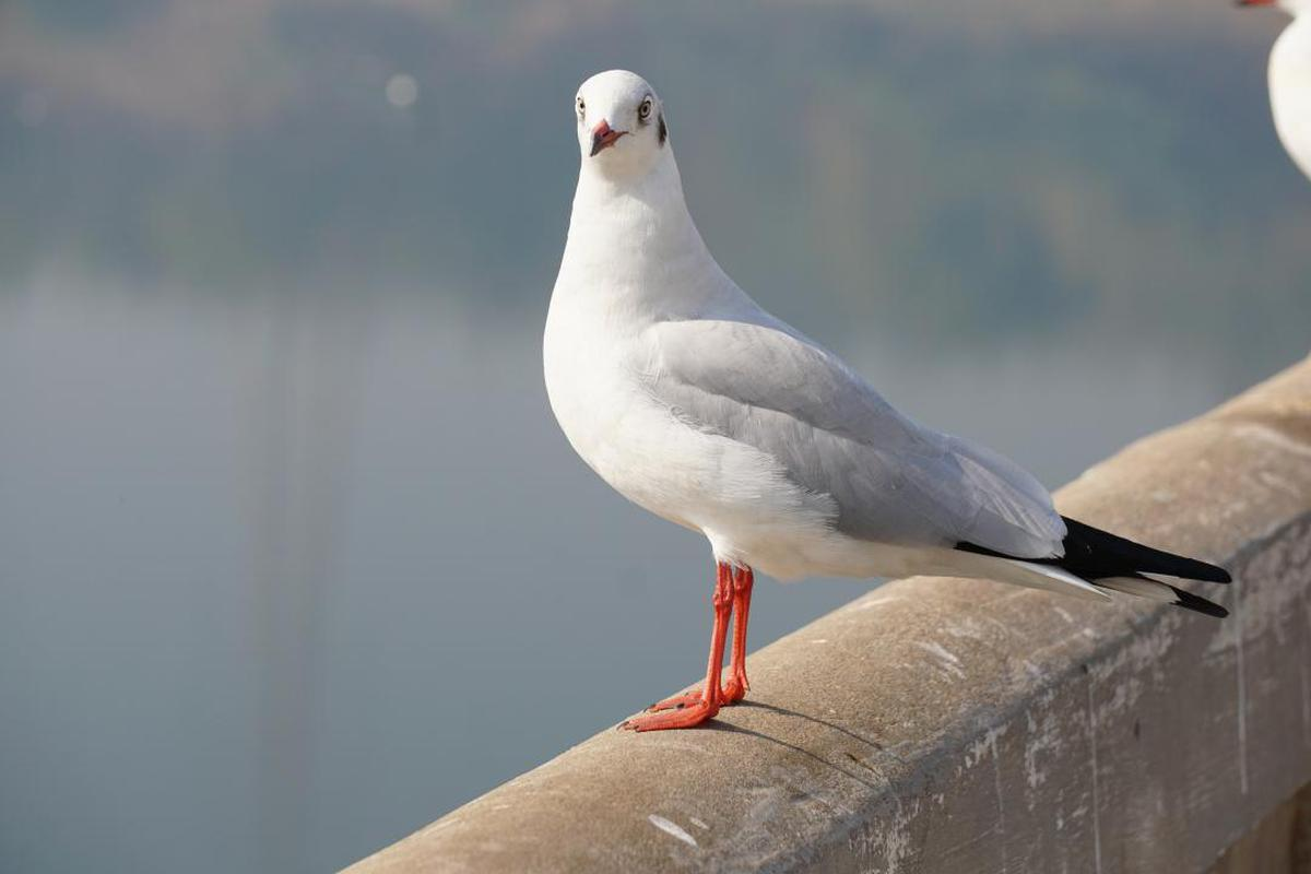 Image of Bird, Vertebrate, Beak, Gull, Seabird etc.