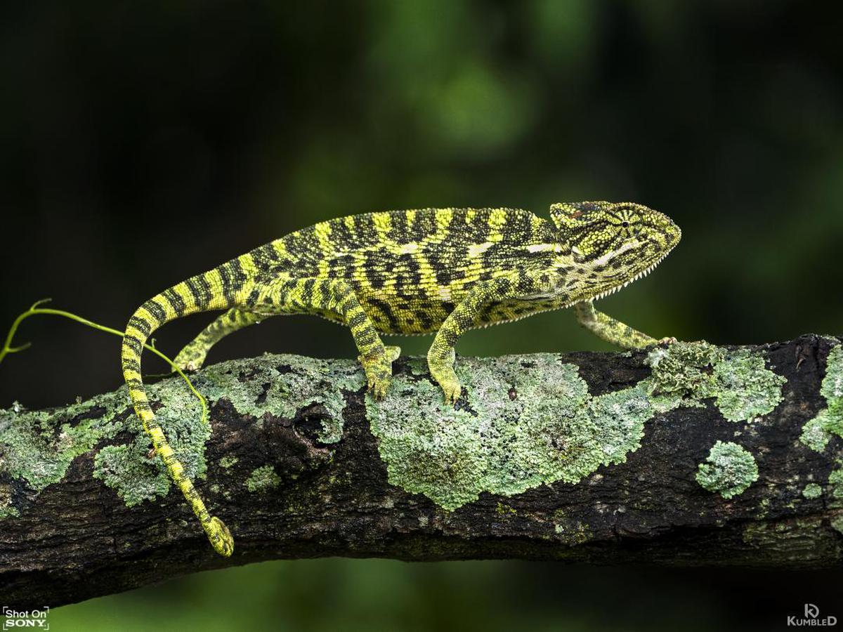 Image of Reptile, Chameleon, Lizard, Common chameleon, Scaled reptile, Terrestrial animal etc.