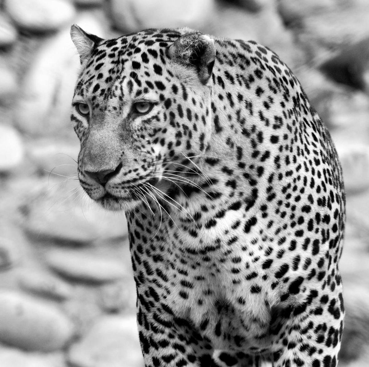Image of Black, Wildlife, Vertebrate, Terrestrial animal, Mammal, Felidae etc.