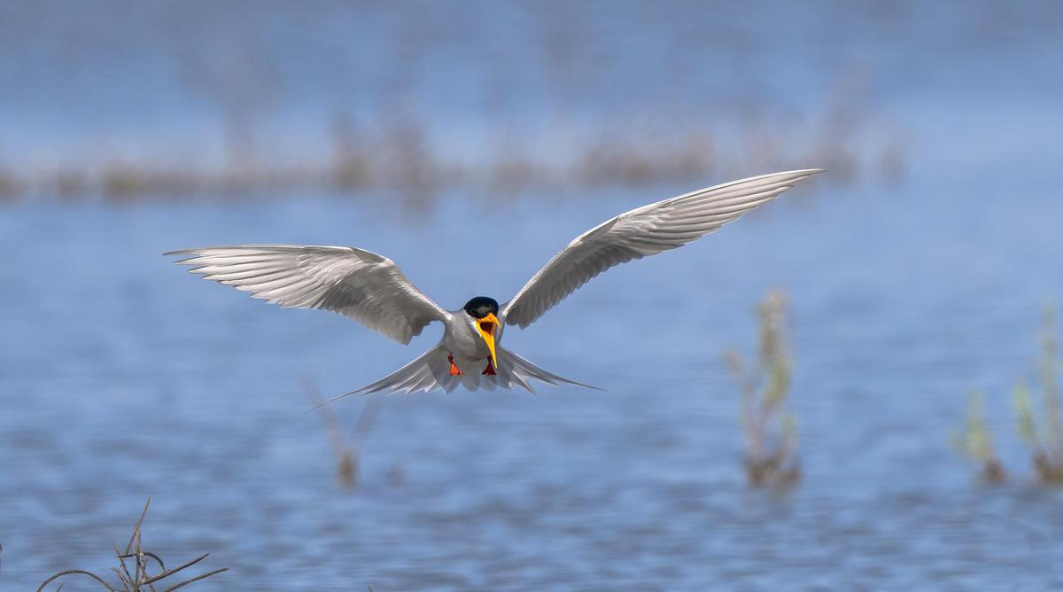 Image of Bird, Common tern, Tern, Beak, Wing etc.