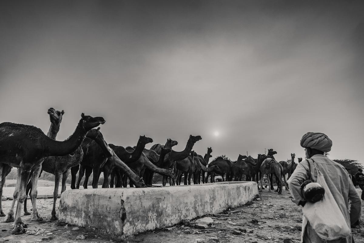 Image of Camel, Camelid, Arabian camel, Black, Monochrome, Black-and-white etc.